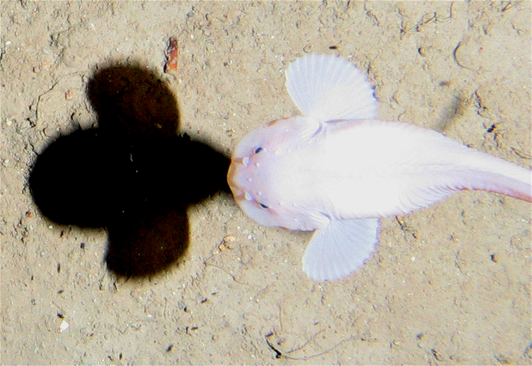 生活在深海7400米的狮子鱼.(图片来源:alan jamieson)