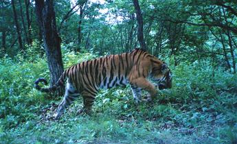 Aside tiger park 2 meitu 1