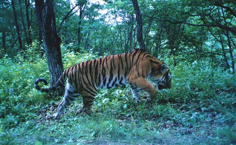 Sidebar tiger park 2 meitu 1