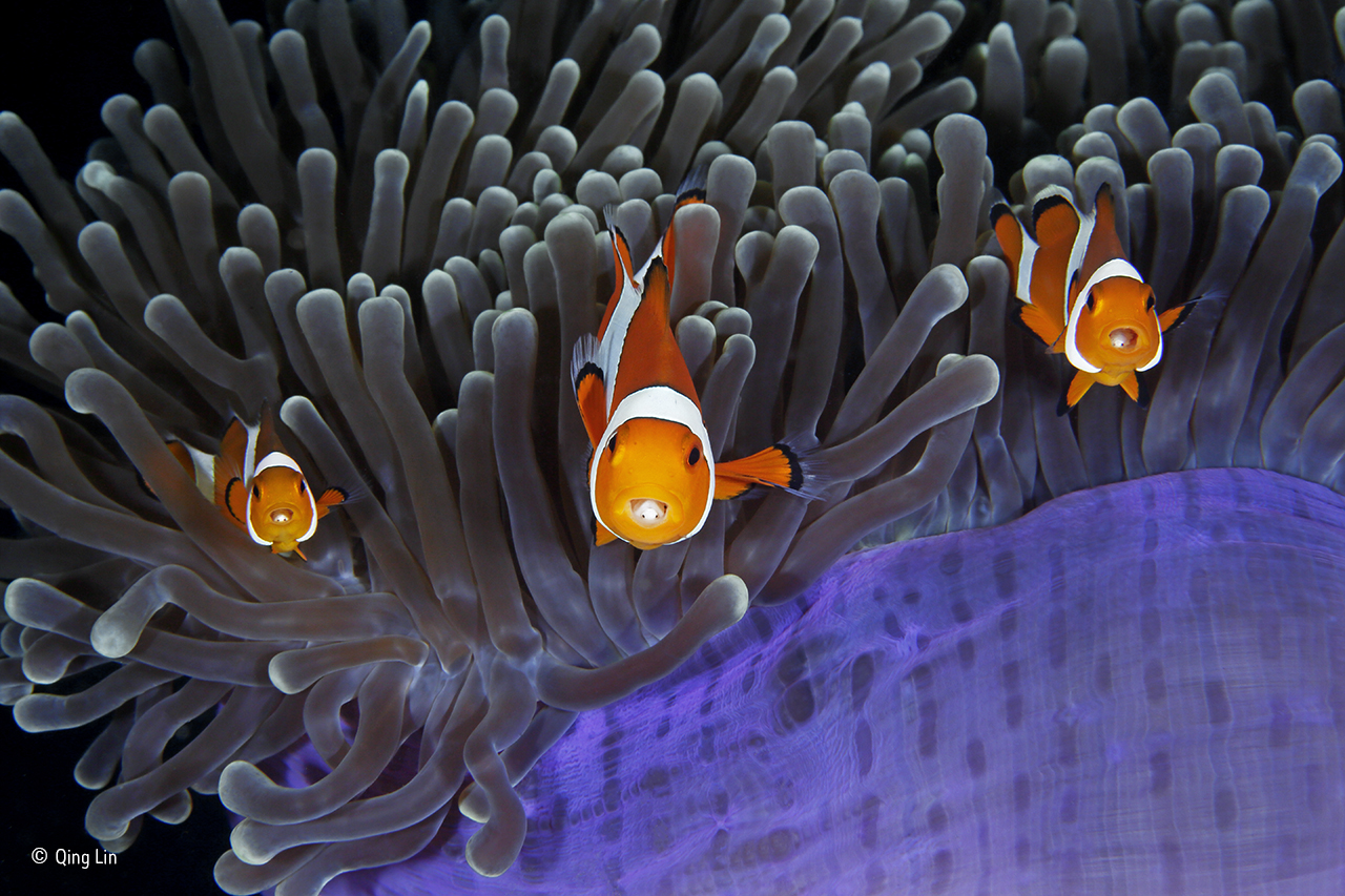 Sample Thesis Essay The Insiders Qing Lin  Wildlife Photographer Of The Year The Clown  Anemone Fish Goes Unharmed By The Stinging Tentacles Of The Anemone Thanks  To Mucus  Health Insurance Essay also High School Memories Essay Photo Essay Wildlife Competition Highlights Diversity And Threats  Good Proposal Essay Topics