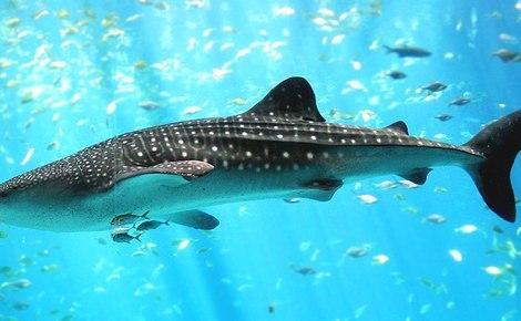 Sidebar 1024px whale shark georgia aquarium