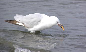 Aside juvenile red billed gull smoking meitu 2