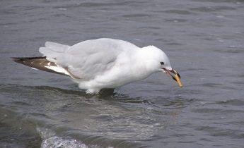 Index juvenile red billed gull smoking 1 1440x1080