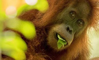 Aside orangutan tapanuli maxime aliaga1