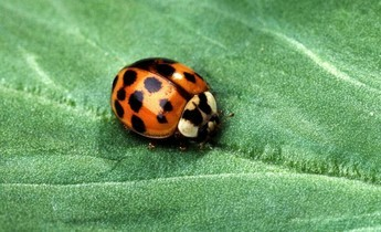 Aside asian multicolored lady beetle  1
