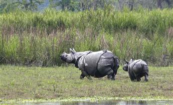 Aside baby rhino with mom kaziranga national park meitu 1