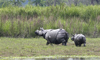 Index baby rhino with mom kaziranga national park meitu 1