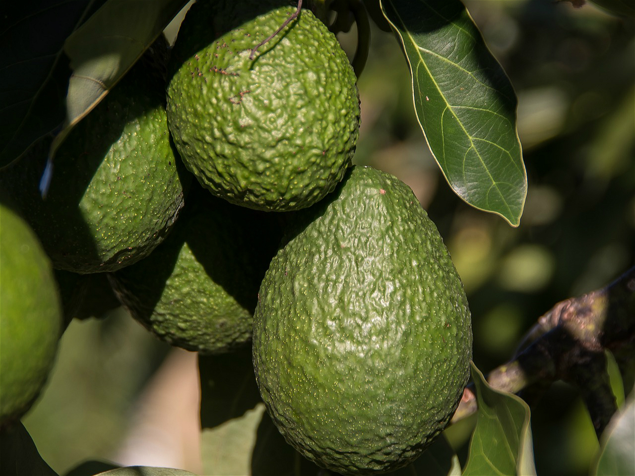 China's taste for avocado linked to drought in Latin America | China