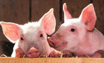 Aside pigs 1507208 meitu 1