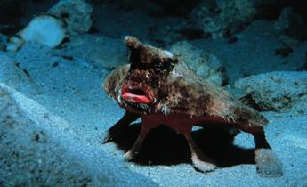 Aside batfish 1