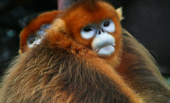 Aside golden snub nosed monkeys