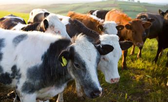 Aside bngnnx cattle farming beef demand
