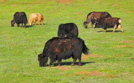 Sidebar yaks in zoige