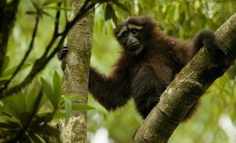 Aside hoolock gibbon