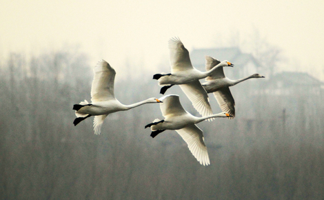 Sidebar d1w15b swan at sanmenxia dam