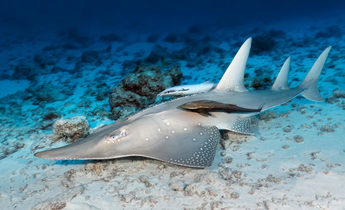 Index guitarfish rhynchobatus djiddensis 1 1440x960