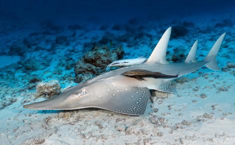 Sidebar guitarfish rhynchobatus djiddensis 1 1440x960