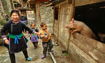 Aside hxrrj3 family pig in china