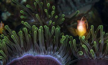 Aside anemone fish e1