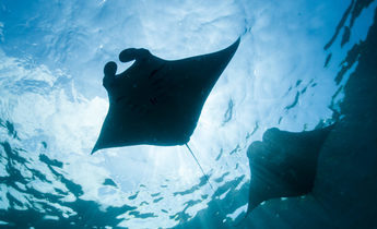 Aside img 9196 reef manta rays 1440x953