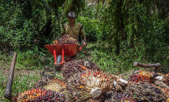 Aside gp0sttnm7 palm oil farmer in indonesia