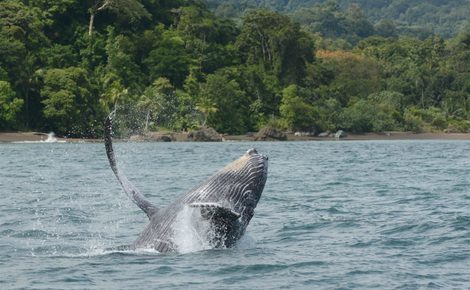 Sidebar humpback whale in colombian web 1440x959
