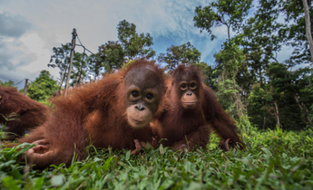 Aside gp0stqfo0 web orangutans in indonesia