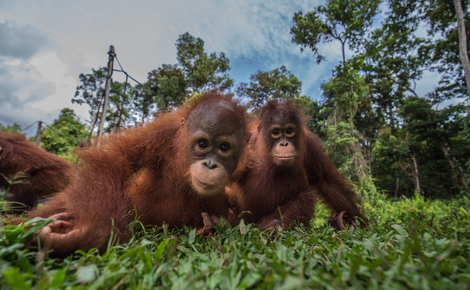Sidebar gp0stqfo0 web orangutans in indonesia