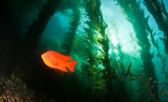 Aside a garibaldi in the kelp forest 1440x960