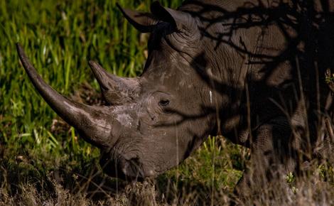 Sidebar white rhino kenya