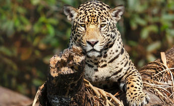 Index 2a9m5x9 cop15  jaguar endangered species