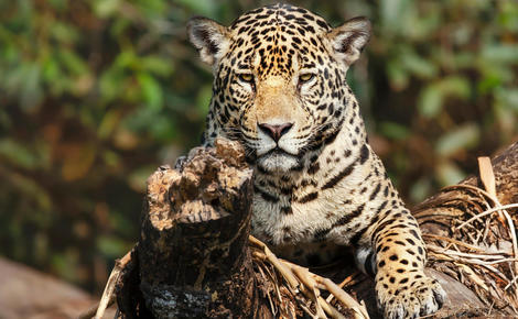 Sidebar 2a9m5x9 cop15  jaguar endangered species