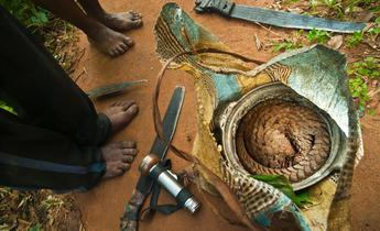Aside w7ppmk african pangolin hunters