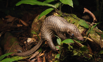 Aside pangolins podcast demand south east asia header