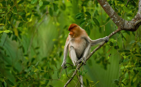 Sidebar ef8kpy proboscis monkey in east kalimantan