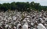 Index cotton
