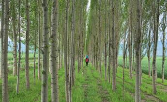 Index p2d1g9  poplars china green deserts