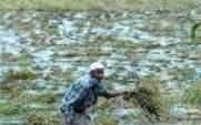Aside bangladesh rice farmer