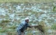 Index bangladesh rice farmer