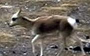 Aside tibetan antelope