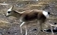 Index tibetan antelope