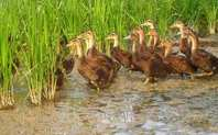 Index ducks paddy