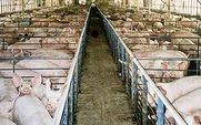Aside_pig_farm_large