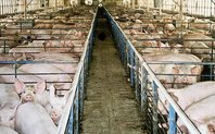 Index pig farm large