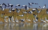 Index poyang lake white cranes china 0503 large