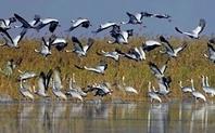 Index_poyang_lake_white_cranes_china_0503_large