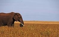 Index wild elephant kenya 0803 large