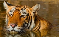 Index india tiger conservation proach 0704 large