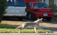 Index urban coyote