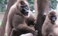 Index drill monkey frozen zoo
